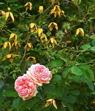 Rosen 'Alchymist' kan användas både som busk- och klängros. Den är verkligt ljuvlig med sina rosa-gula blommor. Här sällskapar den med tangutica-klematisen 'Golden Tiara'.