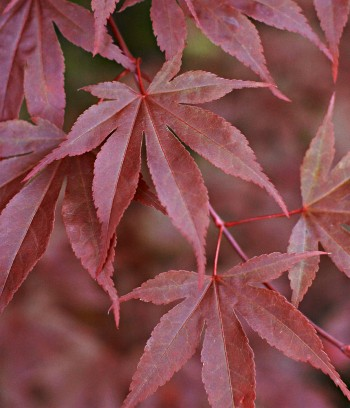Röd japanlönn, Acer palmatum 'Atropurpureum'