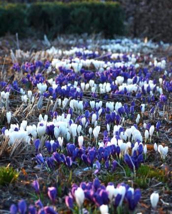 Ett blåvitt fält av blandade vårkrokus, Crocus vernus, 'Jeanne d'Arc' och 'Victor Hugo' som sticker upp under tidig vår i Klosterparken är en ytterst enkel, men effektiv och vacker form av repetition