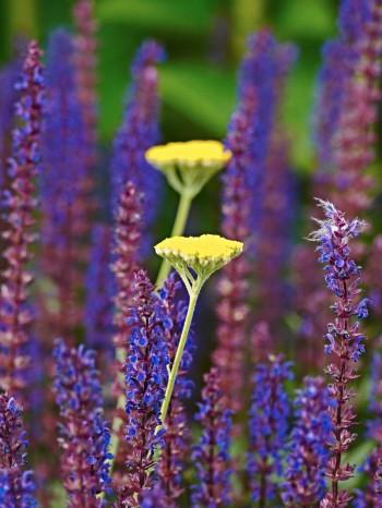 Stäppsalvians, Salvia nemorosa 'Caradonna', spiror mot röllikans, Achillea 'Coronation Gold', parasoller – växelverkan mellan vertikalt och horisontellt i liten skala. Bild från Blå trädgård i början av juli.