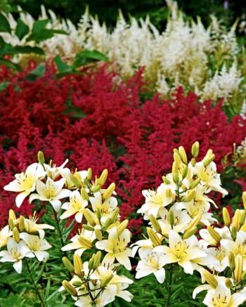 Med vaniljgula liljor mot rödrosa astilbe 'Rotlicht' skapas ett glatt intryck. Den krämvita 'Irrlicht' längre bort fångar effektfullt upp den ljusaste tonen i liljorna.