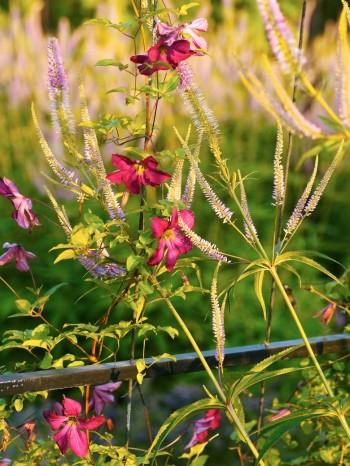 I rabatter kan klängväxter klättra i någon ställning, det ger höjd hela året, även vintertid. Här viticella-klematis, Clematis 'Madame Julia Correvon', i smidesspaljéerna i Blå trädgård med kransveronika, Veronicastrum virginicum 'Lavendelturm', som sällskap i slutet av juli.