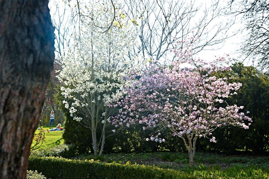 Magnolia salicifolia, 'Wada's Memory' och hybridmagnolia, Magnolia × loebneri 'Leonard Messel'