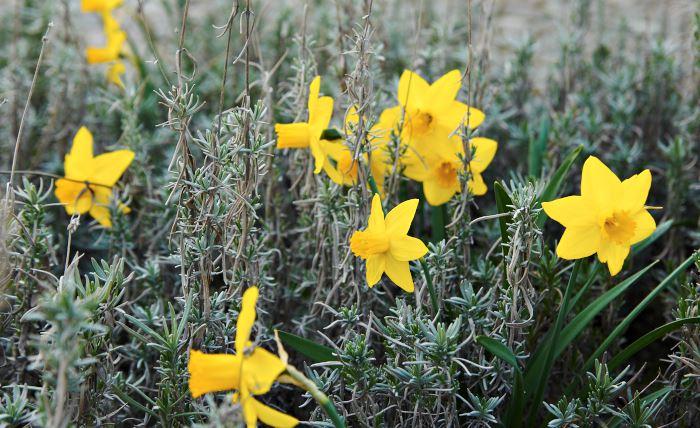 Att plantera cyclamineusnarciss, Narcissus 'February Gold', bland bladverket hos lavendel, Lavandula angustifolia, 'Hidcote Blue' kan få den gråaste dag att kännas lite soligare. Mot silvergrått lyser de gula blommorna starkare än annars och lavendeln, som är ganska så intetsägande så här i början av maj, blir genast mer intressant. Bild från Blombergs park.