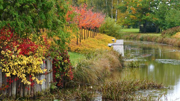 I oktober fås sprakande färger från vedartade växter som bergkörsbär, klättervildvin, klätterhortensia och liten stefanandra längs Åpromenaden.