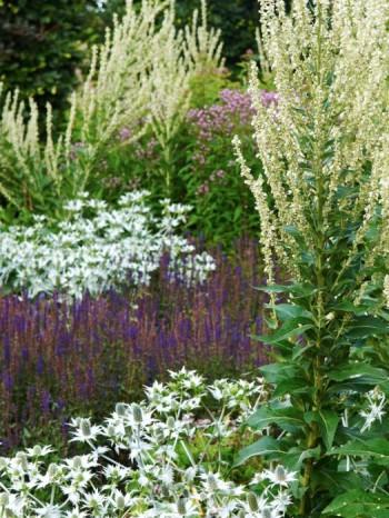 Franskt kungsljus, Verbascum chaixii 'Album', silvermartorn, Eryngium giganteum och stäppsalvia, Salvia nemorosa 'Caradonna'