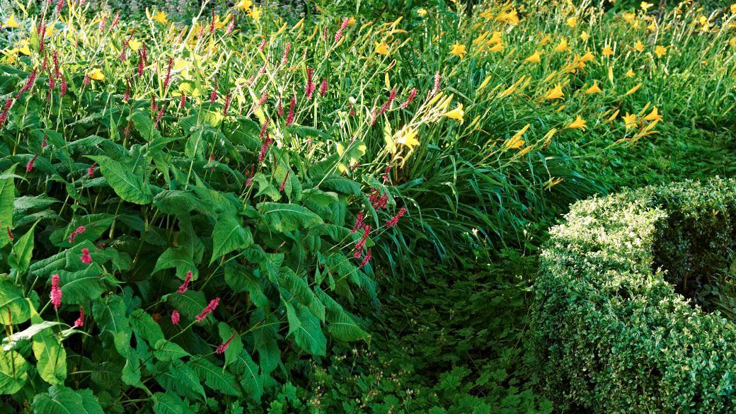 En klippt häck av buxbom, Buxux sempervirens, mot friväxande perenner som daglilja, Hemerocallis 'Radiant', och blodormrot, Bistorta amplexicaulis 'Firetail', är också en kontrast mellan hårt och mjukt. Som bottenplantering syns en matta av liten flocknäva, Geranium × cantabrigiense 'Biokovo'. Bild från Blomstergården i slutet av juli.