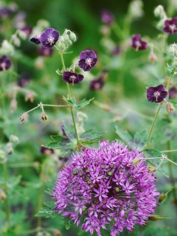 Brunnävans, Geranium phaeum, små näpna blommor mot purpurlökens, Allium × hollandicum 'Purple Sensation', maffiga bollar ger en smakfull kontrast av smått mot stort. Drömparken i mitten av juni.