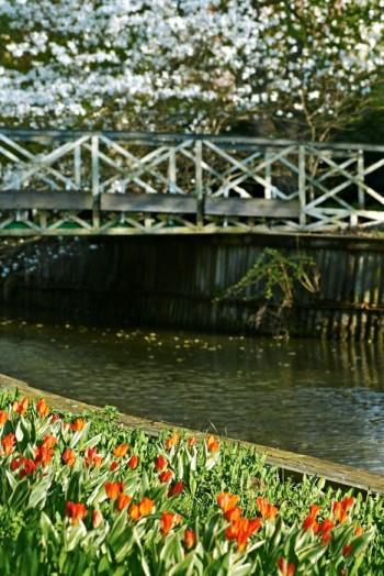 Tidigt i maj kantar anemontulpaner slänten ner mot Enköpingsån och på andra sidan bron vid Strömparterren blommar magnoliorna i överdådigt vitt.
