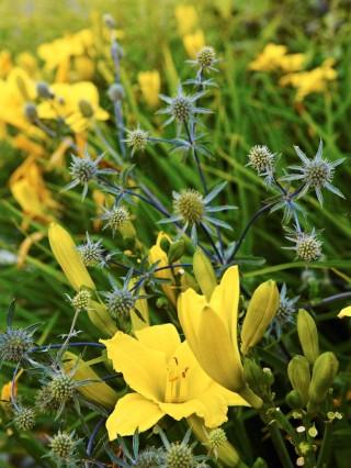 Rysk martorn, Eryngium planum, har en uppseendeväckande taggig form. Den utgör en läcker kontrast i form och färg mot dagliljan, Hemerocallis 'Green Flutter'. Blå trädgård i början av augusti.