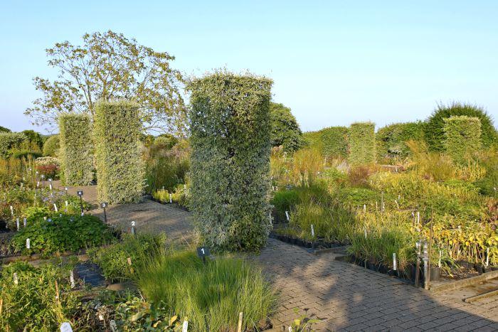 Klippta silverpäron står som breda pelare och vakar over plantskolans växter som är utställda i krukor direkt på marken.