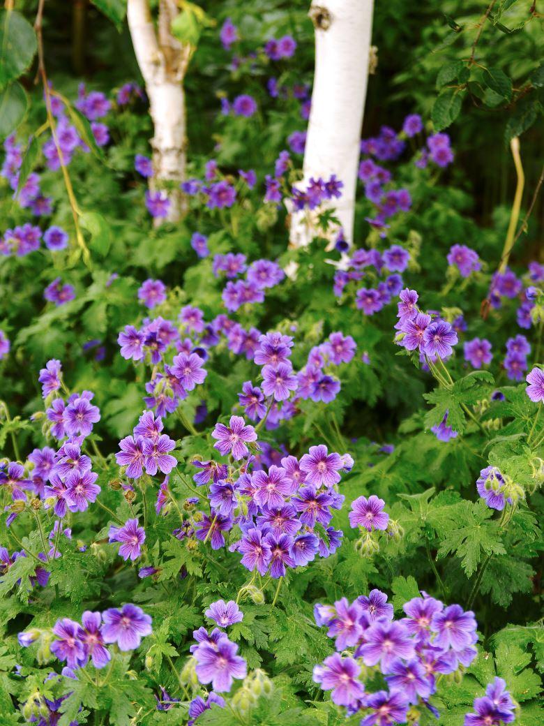 låga blommande buskar