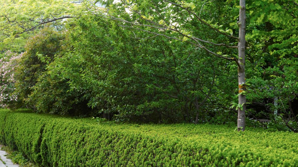 Att som vägg omge sin trädgård med en häck är ofta det mest attraktiva alternativet. En idegranshäck är grön året om och är lätt att hålla vacker även när den skuggas. I häcken kan kronträd sticka upp och skapa tak, i bilden syns stammen av ett korstörne, Gleditsia triacanthos 'Skyline'. Den har en öppen krona och är ett medvetet val för att inte få för djup skugga inne i parken. Buskar strax innanför häcken bildar ett extra skyddande lager mot omgivningen. Här i Fridegårdsparken bidrar det starkt till att man i känner sig omsluten, som i en annan värld.