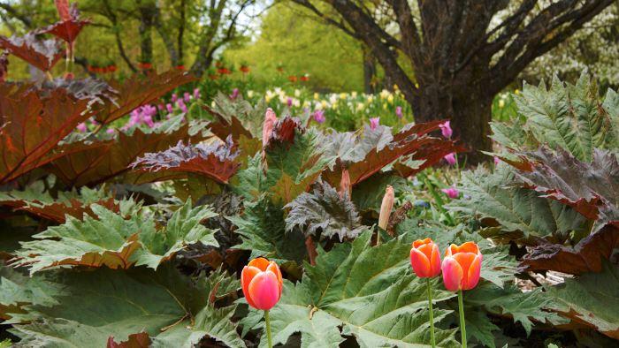 I ackompanjemang av tulpaner.