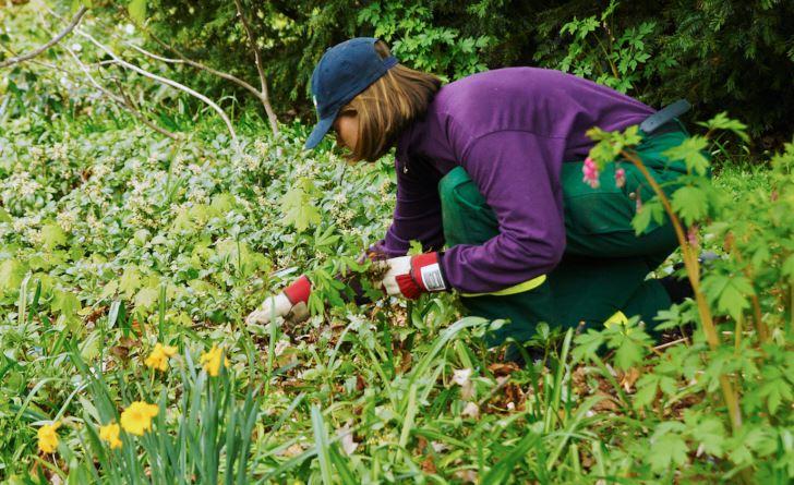 Den stora insatsen mot ogräs görs på våren innan perennerna hunnit växa sig starka. Här syns Paula Krumlinde i färd med att rycka upp självsådda småplantor av främst lönn och hästkastanj i Strömparterren under mitten av maj.