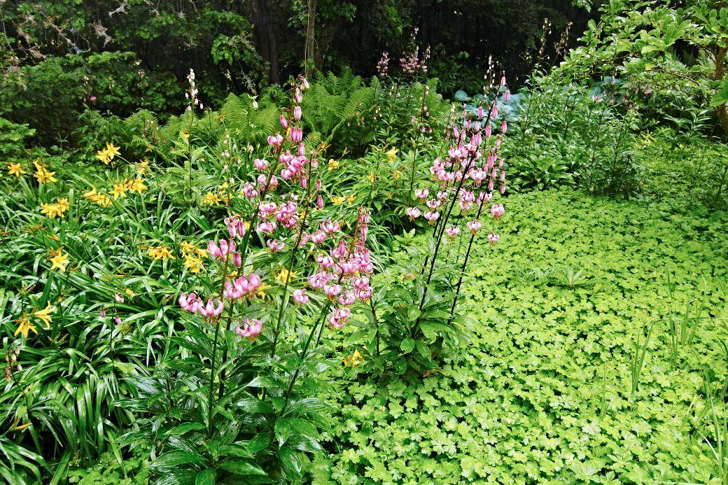 Liten flocknäva, Geranium × cantabrigiense 'Biokovo', bildar en matta som kitt mellan rabattens delar i Blomstergården. I förgrunden syns blommande krolliljor, Lilium martagon, och dagliljor, Hemerocallis 'Sovereign'. Mitten av juni.