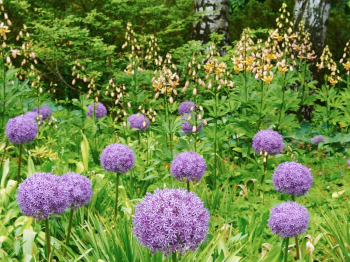 Allium 'Globemaster' och Lilium 'Mrs R. O. Backhouse'