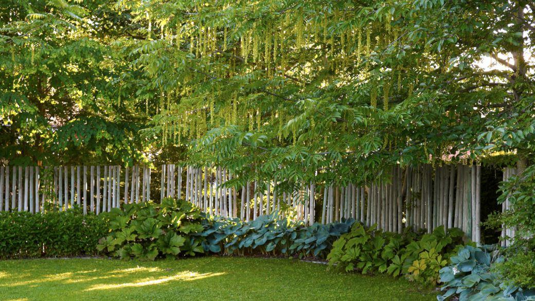 Väggar runt trädgården kan man skapa av lite av varje. I Blombergs park sluts det öppna området in av en palissad av trä. Vid dess fot har gröna, storbladiga och skuggföredragande växter planterats, som daggfunkia, Hosta sieboldiana 'Elegans' och bronsrodgersia, Rodgersia podophylla. Flera träd vid palissaden fungerar som tak, i bilden dominerar kaukasisk vingnöt, Pterocarya fraxinifolia med sitt vackra takbildande grenverk.