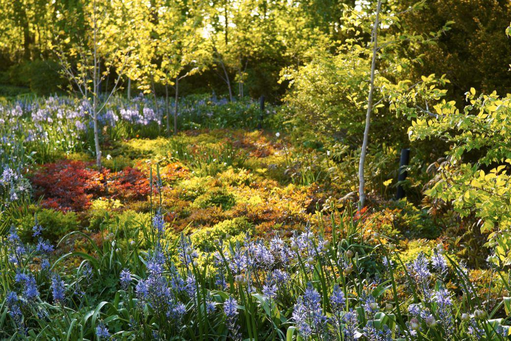 Små träd som solitärer i en sammanhängande matta av fyra sorters astilbe i mitten av maj, effektfullt med blad i nyanser av rött och grönt. Längre fram på sommaren blir mattan hela 80 cm hög och i månadsskiftet juli–augusti är den prydd av astilbeblommor i rosa, rött och vitt. Astilbesorterna 'Rotlicht', 'Irrlicht', 'Bressingham Beauty' och en mörk typ av 'Cattleya'. I förgrunden syns lökväxten mörk stjärnhyacint, Camassia leichtlinii 'Caerulea' blomma. Bild från Klosterparken.