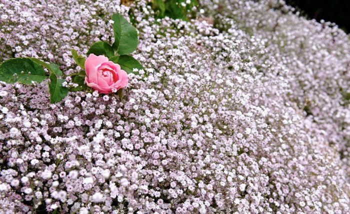 Remontantros 'Baroness Rothschild' och rosenslöja, Gypsophila 'Rosenschleier'. Mer romantiskt än så här kan det väl knappast bli? Bild från Pastor Spaks park i mitten av juli.