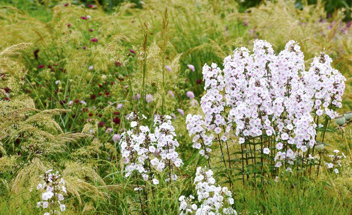 Eko, alltså att låta en större grupp klinga av i mindre grupper eller enstaka plantor, passar växter med tydlig karaktär, som här prickflox, Phlox maculata, 'Delta'. Effekten blir snygg även med ännu lite längre avstånd mellan ursprungsgruppen och ekoplantornna.