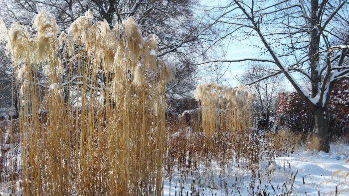 Med ett täcke av snö är Drömparken som ett underland i februari med alla vinterståndare av vackert vissnade perenner. Närmast i bild en ståtlig tuva av glansmiskantus med rimfrost i de yviga plymerna.