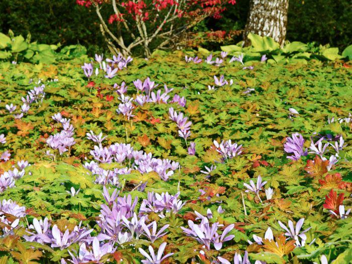 Geranium macrorrhizum, Euonymus alatus och Colchicum 'Lilac Wonder'