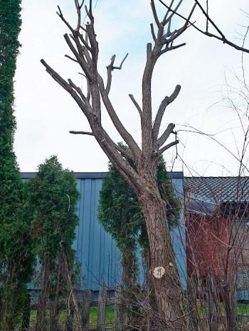 Bollpil, Salix x fragilis 'Bullata'