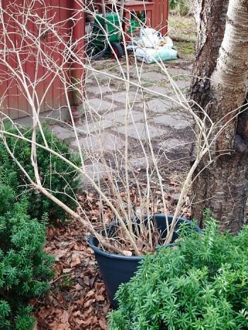 Fyra års förvisning för en Syringa × hyacinthiflora