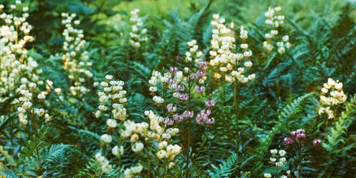 Krolliljor, Lilium martagon, och träjon, Dryopteris filix-mas 'Linearis Polydactyla', förstärker känslan av skugga och får oss nästan att tro att vi befinner oss i en sagoskog där prinsar och prinsessor när som helst kan dyka upp. Strömparterren i början på juli.
