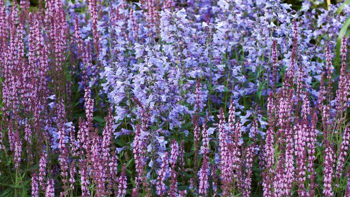 Liknande färg, liknande form. Stäppsalvia, Salvia nemorosa 'Amethyst', och kashmirnepeta, Nepeta clarkei, har blommor som sitter samlade i spiror och ligger nära varandra i färg.