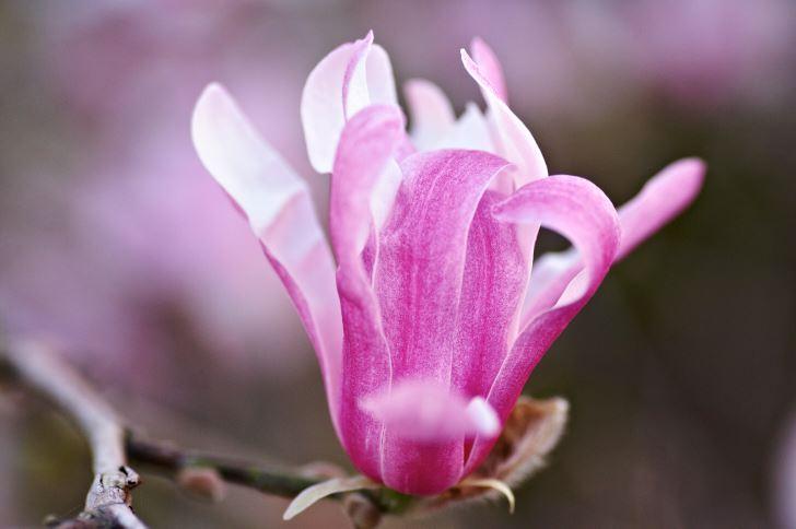 Hybridmagnolia, Magnolia × loebneri, 'Leonard Messel