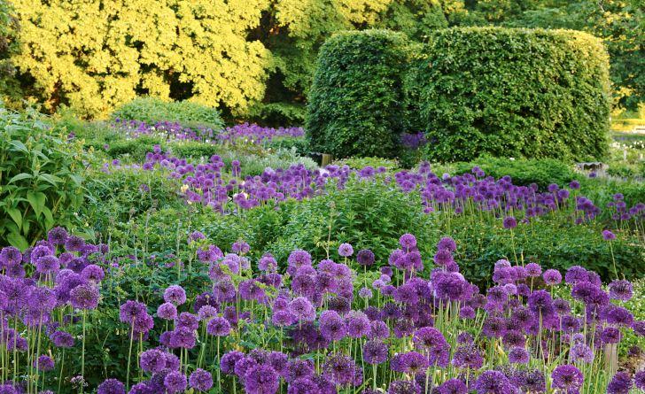 I början av juni blommar purpurlök i stora fält, boll efter boll så långt ögat når, i bakgrunden en av de formstarka bokcylindrarna. Om ett par månader har många perenner vuxit sig så höga att bokcylindern knappt skymtas från den här platsen.