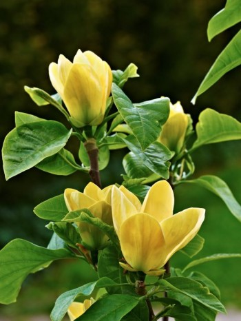 Brooklynmagnolia, Magnolia × brooklynensis 'Yellow Bird'