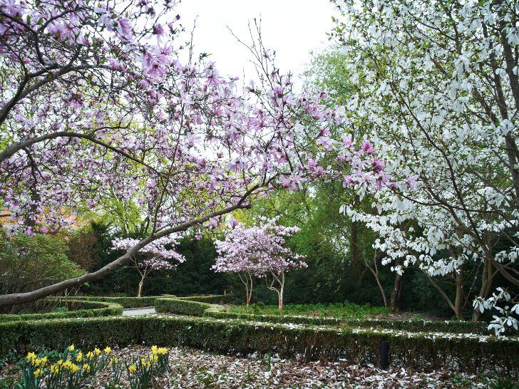 Sveriges kanske vackraste magnoliaplantering finns i Blomstergården i Enköping. De två sorter som dominerar den tidiga våren, 'Wada's Memory' och 'Leonard Messel', tillhör de allra härdigaste.