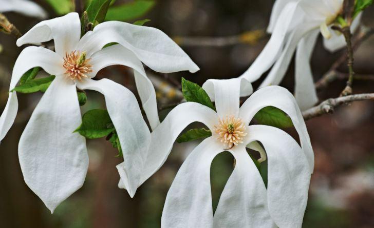 pilbladsmagnolia, Magnolia salicifolia 'Wada's Memory'