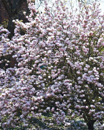 Som växt är det svårt att vara mer kändis än praktmagnoliorna på Lundagård i Lund, att påstå att de blommar i överflöd är en underdrift.