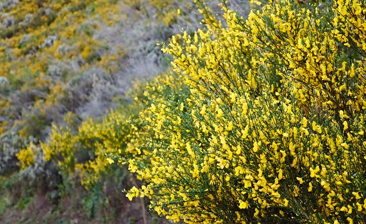 Spanskginst, Spartium junceum