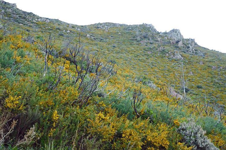 Ginsttäckt sluttning ovanför Collioure