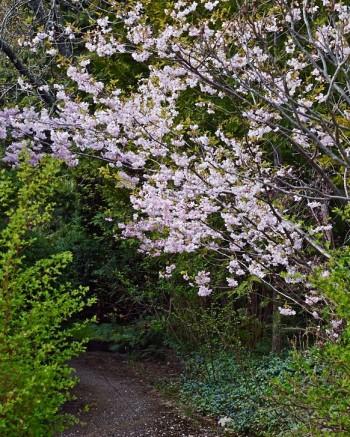 Prydnadskörsbär, Prunus 'Accolade' över vår entrégång
