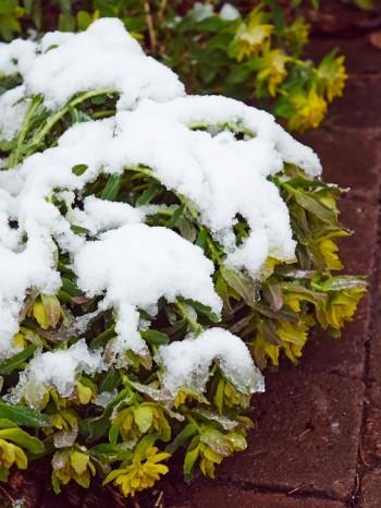 Gulltörel, Euphorbia polychroma, nedtyngd av kung Bores återkomst