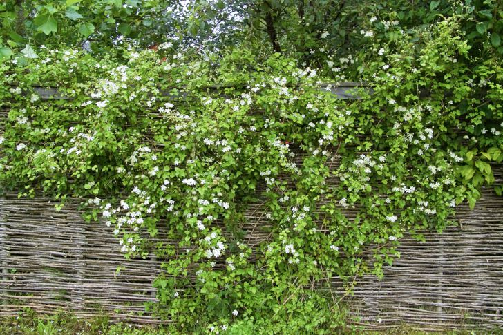 Skyddande väggar behövs runt en romantisk trädgård. Ska det gå snabbt är torr flätad pil praktisk. Vitalba-klematisen 'Paul Farges', också kallad 'Summer Snow' förstärker den gammaldags atmosfären.