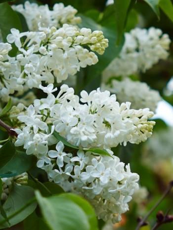 Syringa vulgaris 'Sterntaler', lätt gulaktig