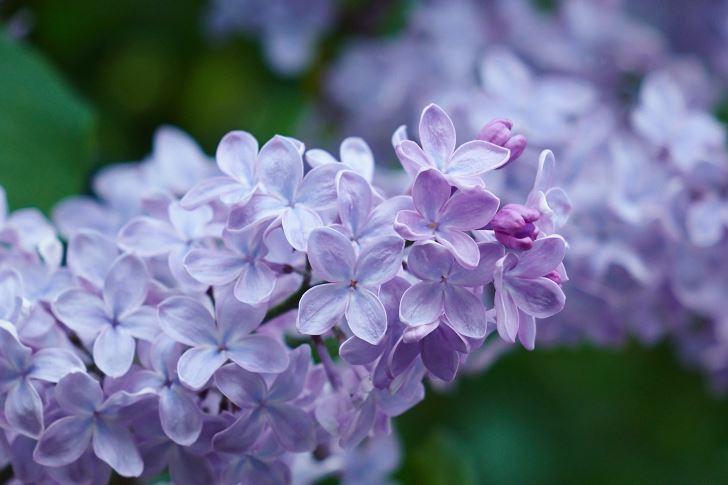 Syringa vulgaris 'Blue Skies', drar mot blått