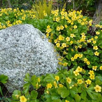 Varför blommar inte waldsteinian?