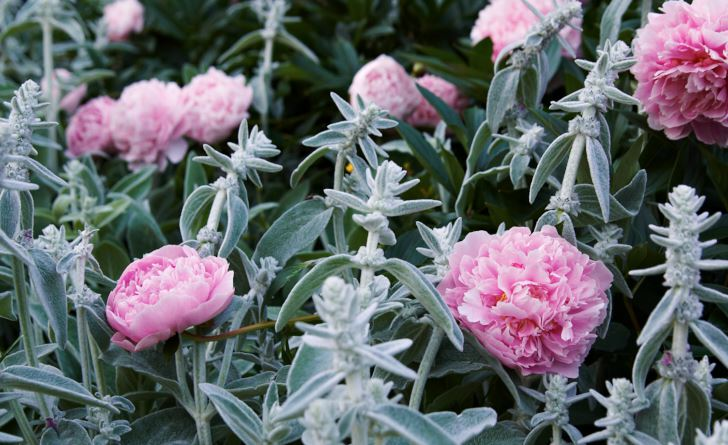 Kombinationen rosa och grått hör hemma i den romantiska trädgården, det skapar lugn fast det lyser upp. Luktpionerna sprider sin doft vida kring där de sticker upp i mattan av lammöron, Stachys byzantina.