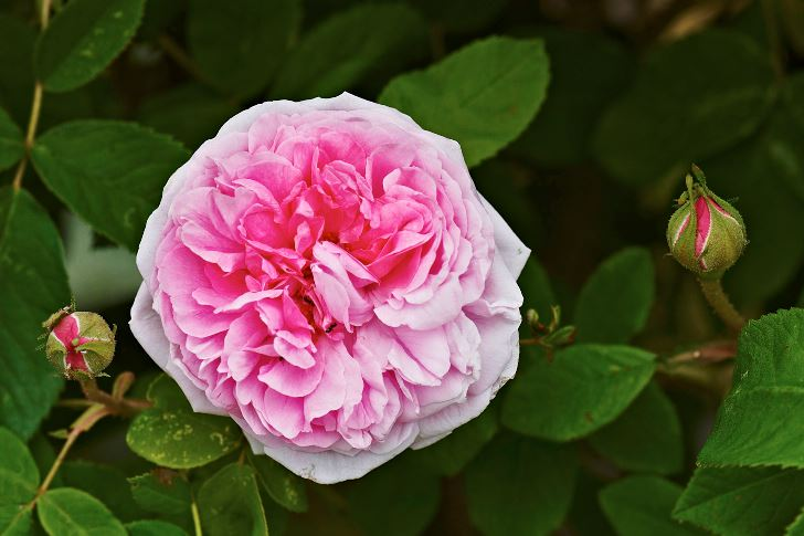 Portlandros, Rosa 'Mme Boll'
