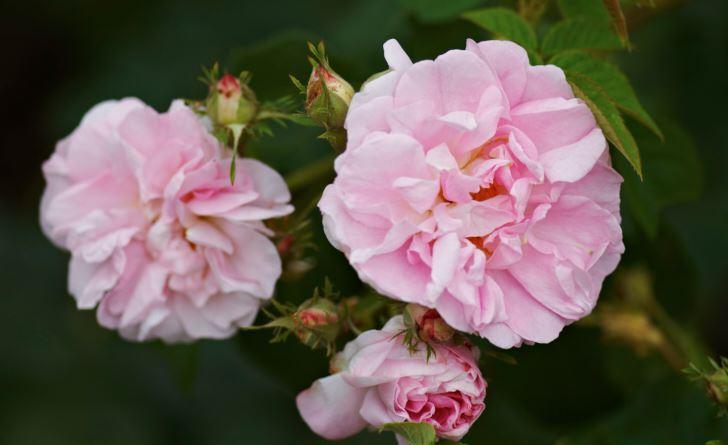 Jungfrurosen 'Celestial' passar sällsynt bra i en romantisk trädgård med sin vackra form och ljusrosa färg. Blommar från slutet av juni till slutet av juli. Kan bli närmare två meter hög i södra Sverige och är härdig långt upp efter norrlandskusten.