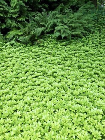 Större ytor med marktäckare kan bli oerhört smakfullt och lätt att underhålla när de väl etablerat sig. Till exempel skuggröna, Pachysandra terminalis, täcker nästan helt marken och håller undan ogräset. Välj gärna sorten 'Green Carpet' som blir tätare än arten. Bild från Norrvikens trädgårdar utanför Båstad.