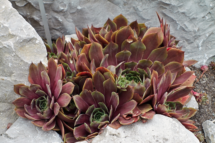Taklök, Sempervivum 'Othello'